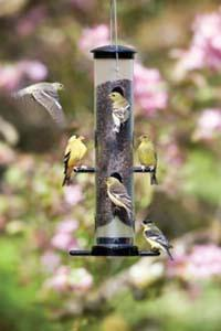 Goldfinches on an EcoClean® Finch Feeder